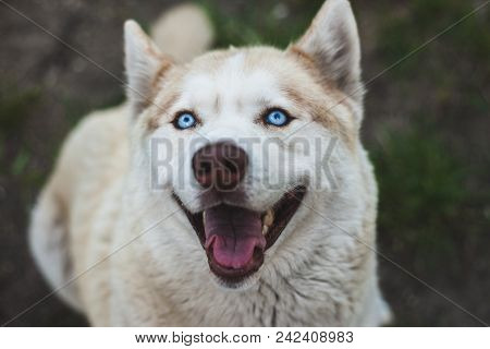 Close Up View Of A Head Of A Brown Husky Dog