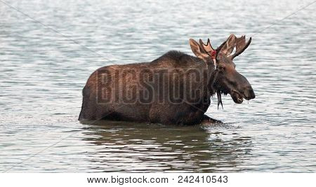 Young Spike Shiras Bull Moose Feeding In Fishercap Lake On The Swiftcurrent Hiking Trail In The Many