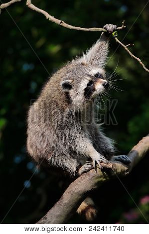 Portrait Of Adult Common Raccon On The Tree Branch. Photography Of Nature And Wildlife.