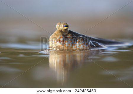 Rockskipper or Mudskipper fish. Fish out of water, walking on beach