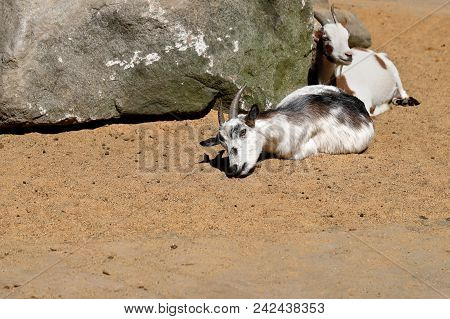 Portrait Of Female African Pygmy Goats. Photography Of Nature And Wildlife.