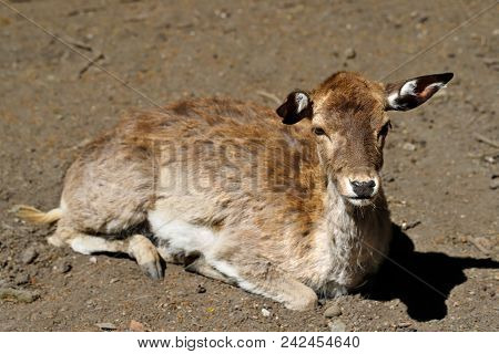 Portrait Of Lying Female Allow Deer (dama, Dama). Photography Of Nature And Wildlife.