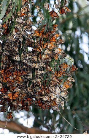 Monarch Butterflies Gather In Wildlife Area