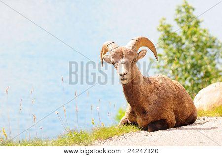 Big horn sheep on the road near Medicine lake in Jasper, Canada