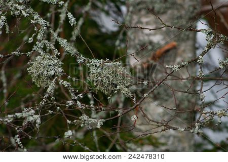 Lichen On Branches  - Pure Mountain Nature.the Lichen Is Thriving In Pure Mountain Nature.a Tree Cov