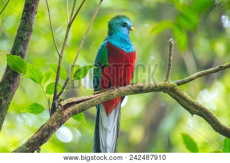 Male of resplendent quetzal (Pharomachrus mocinno) sits on the tree branch in the forest of Monteverde National Park, Costa Rica