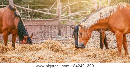 Horses Eating A Hay At Ranch Summertime. Brown, Piebald And Gray Mares And Foals Feeding A Forage, A