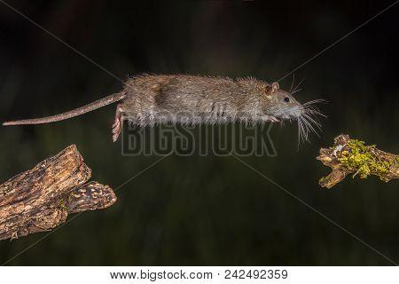 Wild Brown Rat Jump
