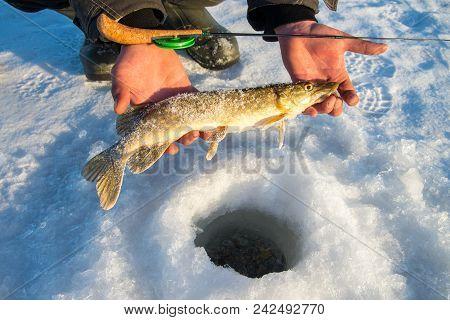 Freshly Caught Pike Fish In Hands, Fisherman Success. Winter Ice Fishing