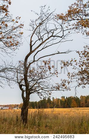 Autumn Landscape In A Cloudy Evening Is Full Of Melancholy. Lonely Tree With Withering Foliage Amids
