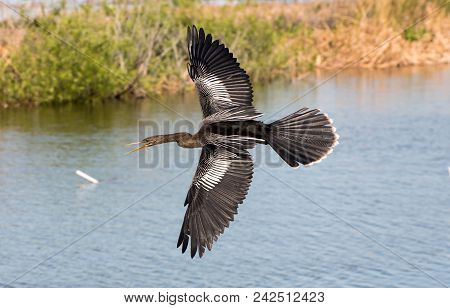 An Anhinga Flies Over A Lake Looking For Fish.