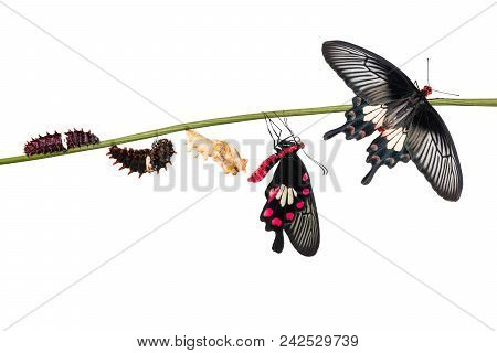 Common Rose (pachliopta Aristolochiae) Butterfly Life Cycle From Caterpillar To Pupa And Its Adult F