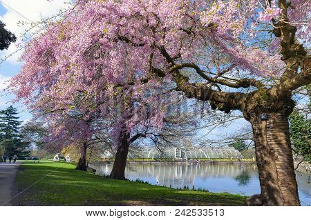 London, Uk - April 2018: Blooming Cherry Blossom Trees At Kew Gardens, A Botanical Garden In Southwe