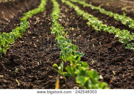 Small Scale Agriculture - Peas Sprouting In Rows On A Dewy Morning In A Rectangular Bed