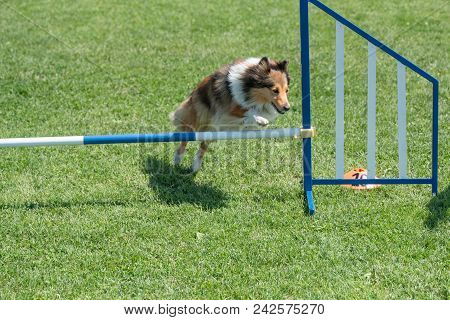Purebred Shetland Sheepdog Sheltie jumping over obstacle on agility competition. poster