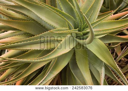 Spiky Leaves Of A Green Succulent Plant