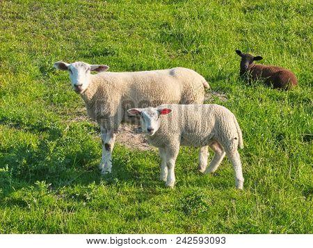 two sheep looking at the camera