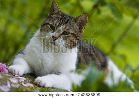 Gardening: A White Tabby Cat Laying On A Stone Bench In The Garden, France