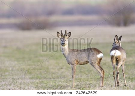 Beautiful Young Deer (cervidae). Small Elegant Deer In Family Cervidae With Growing Antlers Still Co
