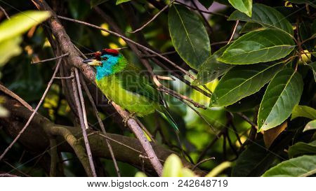 Blue-throated Barbet ( Megalaima Asiatica ) Perching On A Tree. Barbet Bird