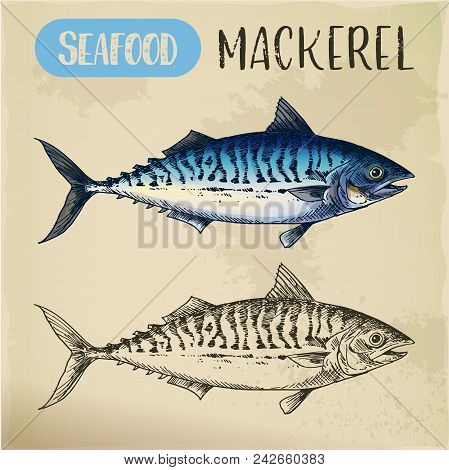 Scombroid Mackerel Sketch Or Pelagic Fish. Signboard With Hand Drawn Seafood Animal. Wildlife For Sp