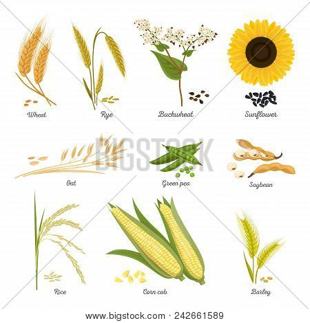 Set Of Isolated Harvest Stems Or Twigs Of Seed Plant. Wheat And Rye, Buckwheat Blossom And Sunflower