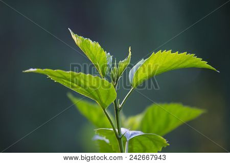 A Leaf Is An Organ Of A Vascular Plant And Is The Principal Lateral Appendage Of The Stem. The Leave