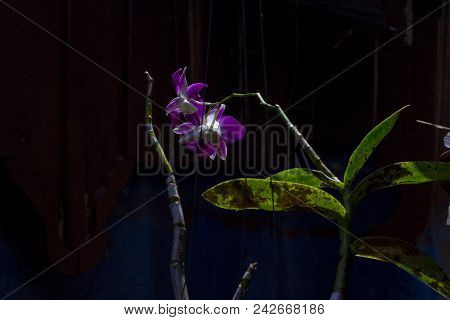 Violet Orchid Flower With Green Leaves In Sun Ray On Dark Background. Gentle Orchid Flower In Backli