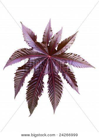 Burgundy Leaf Of A Plant Castor