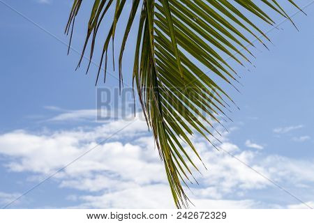 Green Palm Leaf Of Coco Palm Tree On Blue Sky Background. Tropical Nature Photo. Tropical Sky View.