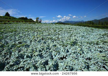 Konjac field and blue sky