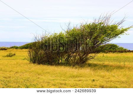 Windswept Desolate Landscape With Trees Shaped From The Wind Taken At A Rural Field Besides The Paci
