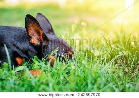 A Miniature Pinscher Hides In The Green Grass. Portrait Of A Close-up Dog