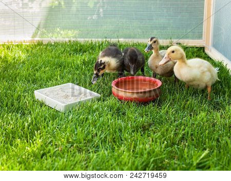 Cute Ducklings Surround Water Pot In A Fenced Area Of Green Grass - Looking To Camera
