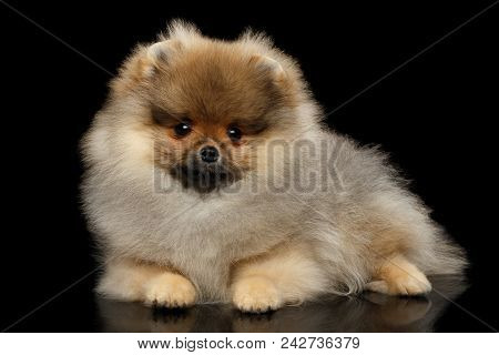 Groomed Miniature Pomeranian Spitz Puppy Lying On Black Isolated Background, Front View