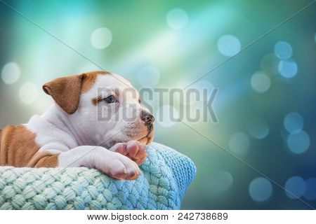 Cute Puppy Dog American Staffordshire Terrier Lies In Basket With Soft Knitted Plaid On Bokeh Light