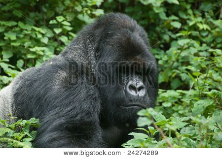 Gorilla In The Forest
