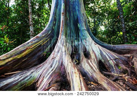 Rainbow Eucalyptus tree in Maui island, Hawaii