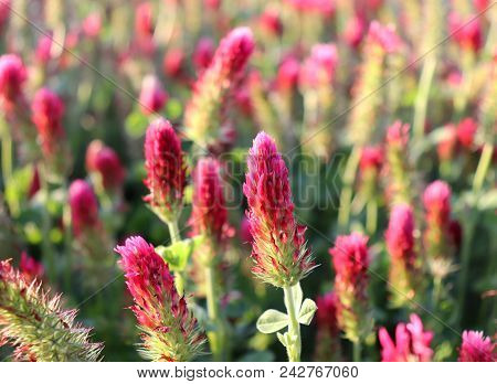 Field Of Flowering Crimson Clovers In Spring Landscape. Trifolium Incarnatum. Beautiful Red Color. I