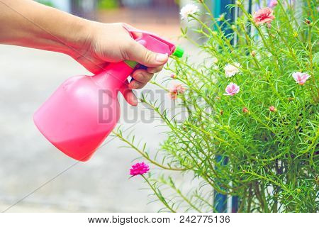 A Hand Spaying Water With Tobacco Mixture From A Pink Spray Bottle On Moss Rose Plant For Insect Rep
