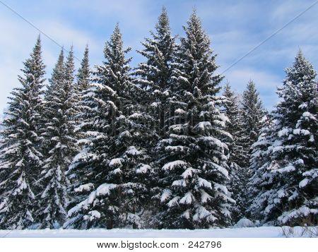 Fir Trees Under The Snow