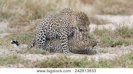 Male Leopard Biting A Female While Mating On Grass In Nature