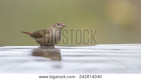 Red-billed Firefinch Female Having A Bath To Cool Down In A Shallow Pool