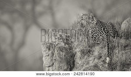 Lone Leopard Lay Down To Rest On An Anthill In Nature During Daytime Artistic Conversion