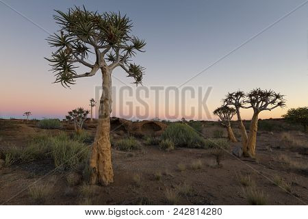 Landscape Of A Quiver Trees With Pastel Sky And Moon In The Dry Desert