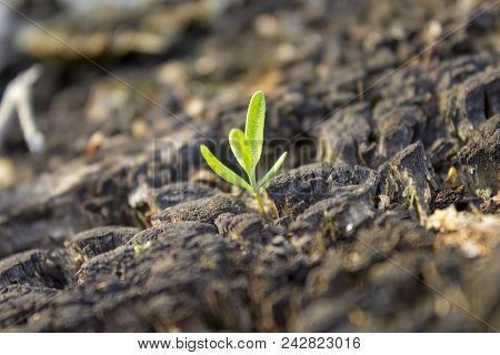 A Small Green Sprout With An Old Stump. Rotten Stump And A Small Green Plant. The Birth Of A New Lif