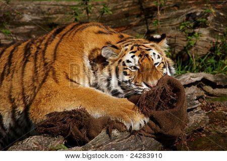 Caught By A Tiger
