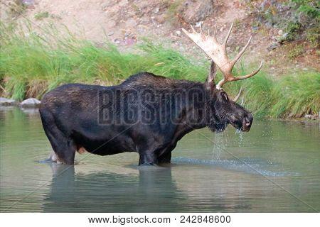 Shiras Bull Moose Shaking Off The Water In Fishercap Lake In The Many Glacier Region Of Glacier Nati