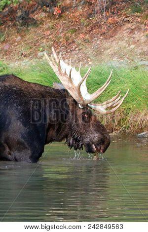 Moose Near Shore Of Fishercap Lake In The Many Glacier Region Of Glacier National Park  In Montana U