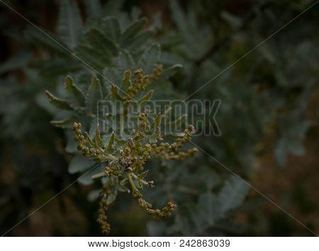 New Buds On The Australian Watte Tree